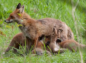 Fox vixen feeding pups